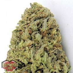 Fast & Vast Auto Cannabis Seeds