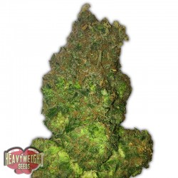 Fruit Punch Auto Cannabis Seeds