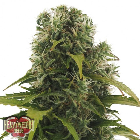 High Density Auto Cannabis Seeds