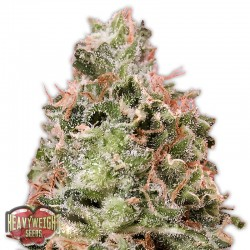Waist Deep Auto - Cannabis Seeds