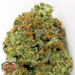 Wipeout Express Auto - Cannabis Seeds