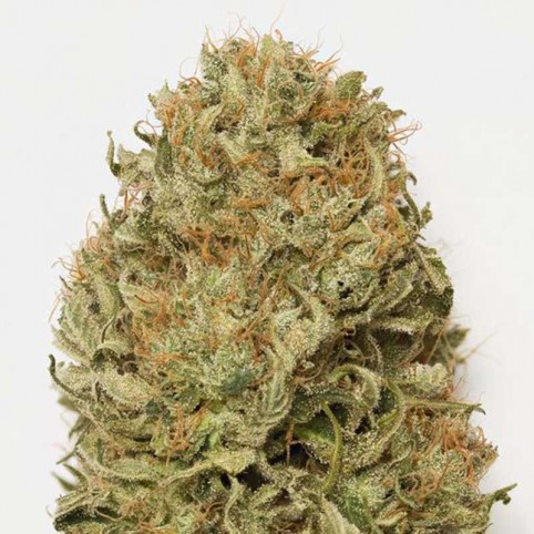 Blue Dream Auto - Marijuana Seeds