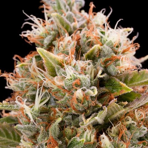 Chemdawg - Cannabis Seeds - Humboldt Seeds