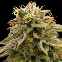 Lemon Thai Kush - Cannabis Seeds - Humboldt Seeds