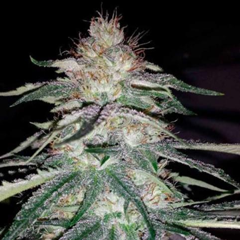 Lost Coast OG - Cannabis Seeds - Humboldt Seed Organisation