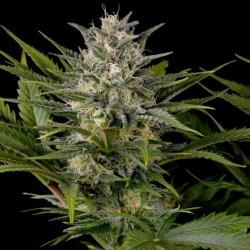 Pineapple Skunk - Cannabis Seeds - Humboldt Seeds