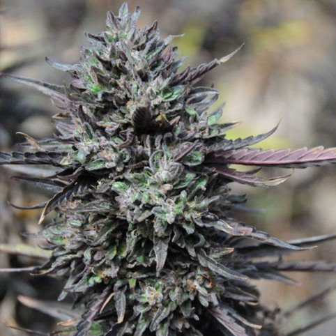 Purple Trainwreck Cannabis Seeds