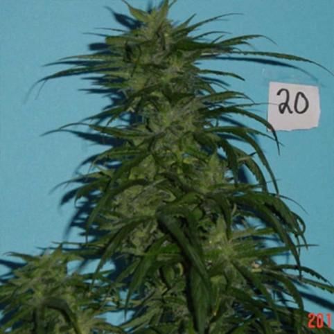 Blue Hawaiian Sativa Cannabis Seeds