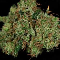 God's Treat Cannabis Seeds