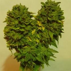 Sapphire Star Cannabis Seeds