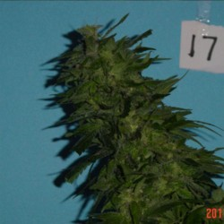 Skunkberry Cannabis Seeds