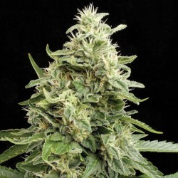 Amnesia Automatic - Bulk Cannabis Seeds