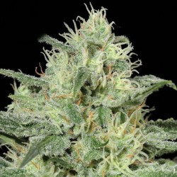 Critical Cannabis Seeds
