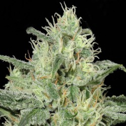 Critical Auto Cannabis Seeds