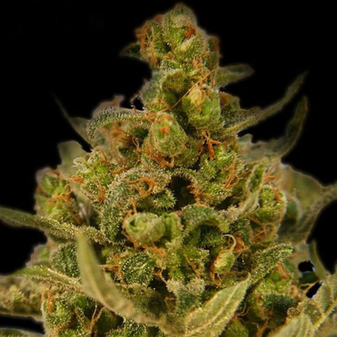 Medical Skunk Cannabis Seeds
