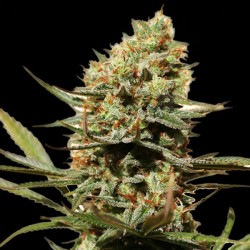 NLX Special Cannabis Seeds