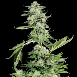 Northern Light Cannabis Seeds