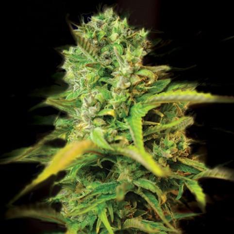 Kera Venice Beach Afghan Cannabis Seeds