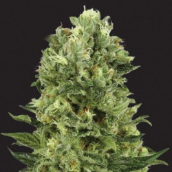 White Widow - Cannabis Seeds