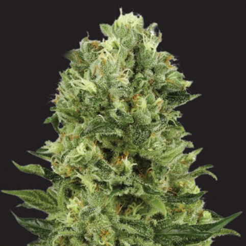 White Thunder Cannabis Seeds
