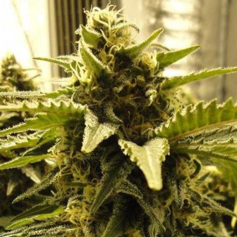 Snow White Feminized Seeds