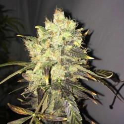 Supreme CBD Durban Cannabis Seeds