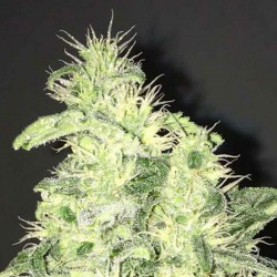 Supreme CBD Kush Cannabis Seeds