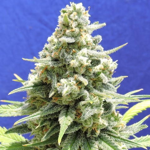 Amnesia Lemon Kush Cannabis Seeds