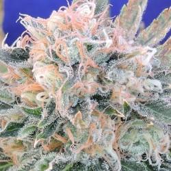 Auto Blueberry Ghost OG - Cannabis Seeds