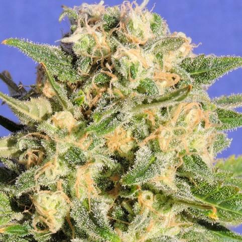 Auto Destroyer - Cannabis Seeds