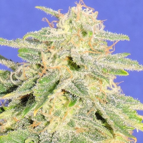 Auto JH Cannabis Seeds