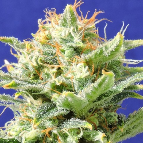 Auto Skunk Cannabis Seeds