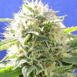 Black Destroyer Cannabis Seeds