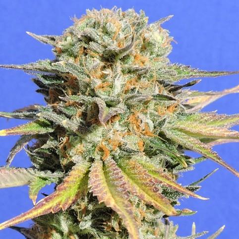 Bruce Banner #3 - Cannabis Seeds
