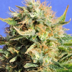 Chronic Lights Cannabis Seeds