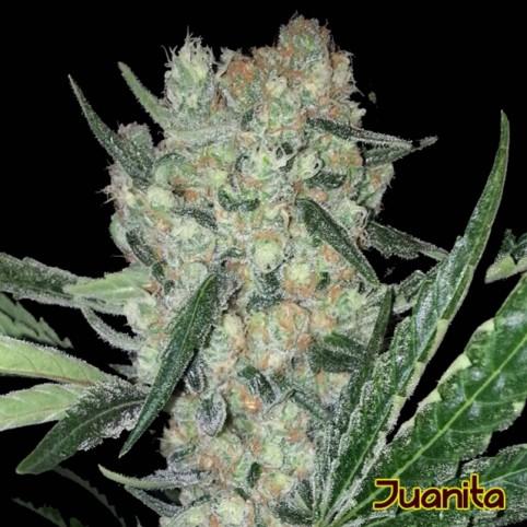 Juanita Cannabis Seeds