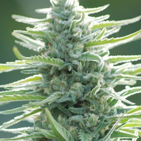 Pure Africa Cannabis Seeds