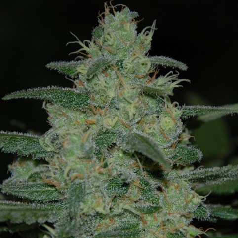Pure Kush Cannabis Seeds
