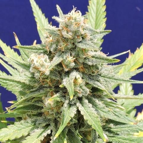 Stinkin' Bishop Cannabis Seeds