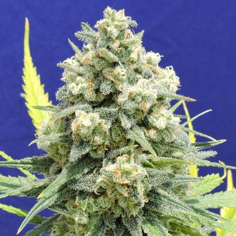 White Critical Cannabis Seeds