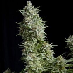 Alpujarrena Cannabis Seeds