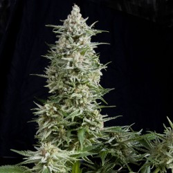 Amnesia Gold Cannabis Seeds