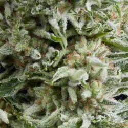 Auto Amnesia Gold Cannabis Seeds