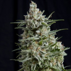 Anesthesia Cannabis Seeds
