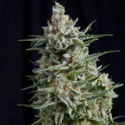 Anesthesia Cannabis Seeds