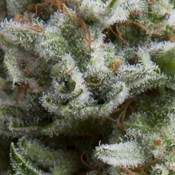 Auto Anesthesia Cannabis Seeds