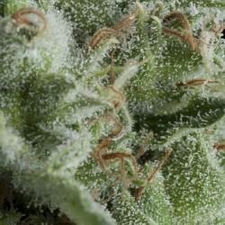 Auto Kryptonite Cannabis Seeds