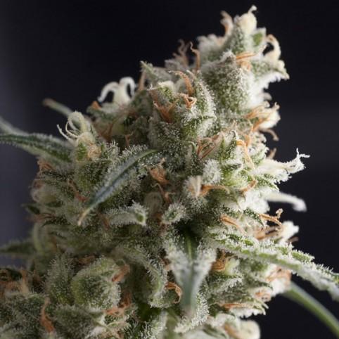 Lennon Cannabis Seeds