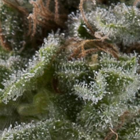 Auto Lennon Cannabis Seeds