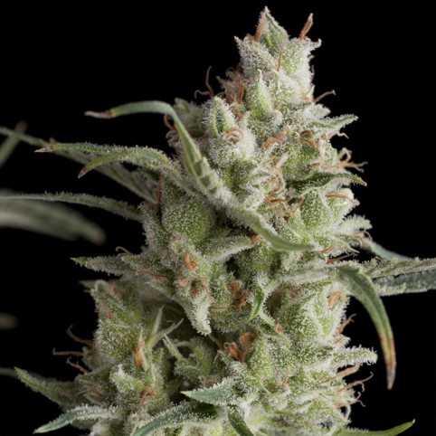 Super OG Kush Cannabis Seeds